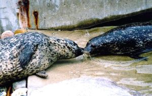 pinniped kiss by annlo13