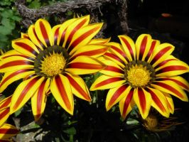 Crazy Gazania 6 by JanuaryGuest