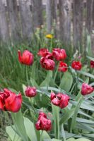 Spring Scenes - Tulips Past by Qrinta