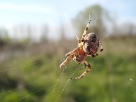 Spider by Mihaela7
