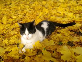 Cat in autumn leaves by love1008