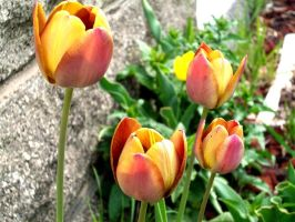 Spring Tulips by whatsername57