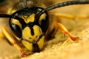 common wasp posing by macrojunkie