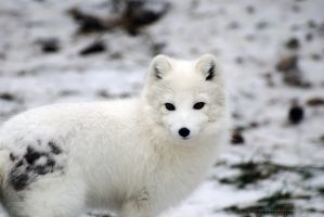 Arctic Fox 3 by 8TwilightAngel8