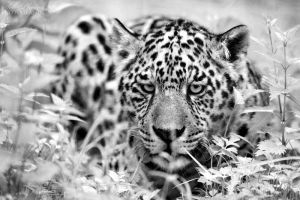 Jaguar cub wanna hunt! by Seb-Photos