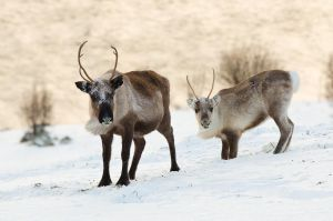 Reindeer Couple by KennethSolfjeld