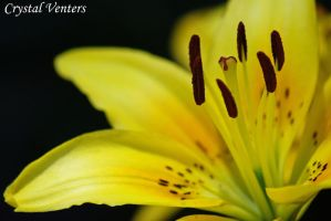 Yellow Lily 2 by poetcrystaldawn