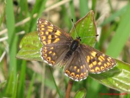 Duke of Burgundy by Terrydunk