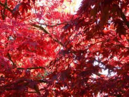 Red Dragon Maple Tree by bluedragoneye