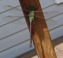 Dragonfly by Westminister