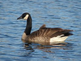Canadian Geese2 by Dreamweaver38
