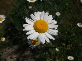 Marguerite by PccMBsF