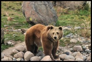 Grizzly Bear by timlori