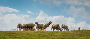 Sheep Austria 3 UWHD 21:9 2560x1080 Wallpaper by aradilon