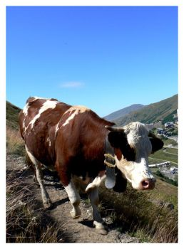 Val Thorens, Cow by koskoz