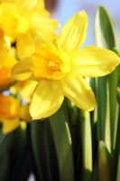 -Narcissus pseudonarcissus- 3 by Noeth