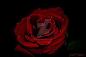 Rose by Zacharias-Gift