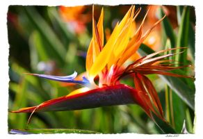 Bird of Paradise by gingerkat