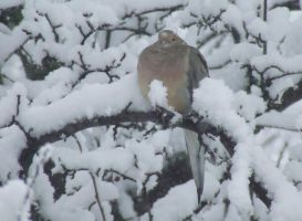 Morning Dove in snow by dlighted