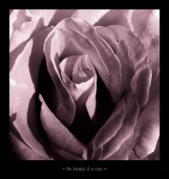 the beauty of a rose by melxxx