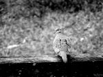 The Morning Dove. by Sparkle-Photography