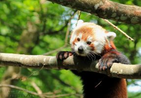Red Panda I by SaraJArts
