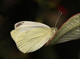 Male White Cabbage  Butterfly.. by Firey-Sunset