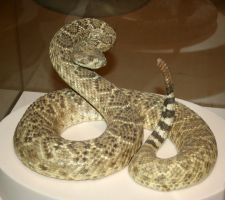 Denver Museum Rattlesnake 316 by Falln-Stock