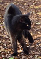 black cat ~ STOCK by AStoKo by AStoKo