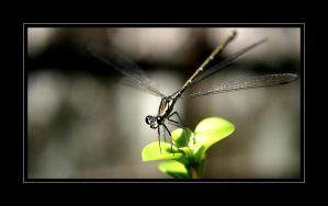 Dragon Fly by Crin