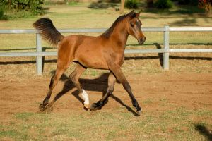 JA Arab big trot by Chunga-Stock