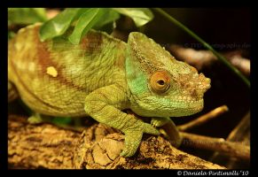 Chameleon by TVD-Photography