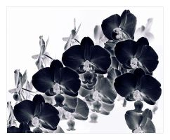 Dance of the Black Orchids by lorrainemd