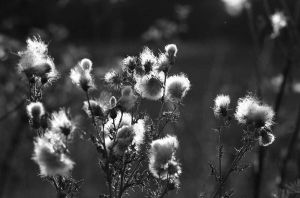 Thistle Heads by Nigel-Kell