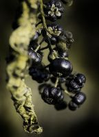 Shriveled Berries by Ashleydeyo