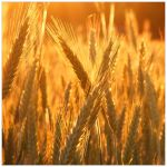 Ready to harvest by alone-maggie