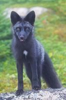 Wild Fox - Sticking Tongue Out by Witch-Dr-Tim