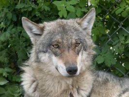 Gray Wolf 04 by animalphotos