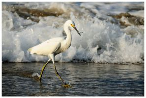 Snowy Egret by Raymaker