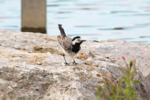 White Wagtail by YunaHeileen