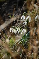snow-drops by malybob
