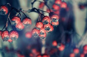 redberries by Tamerlana