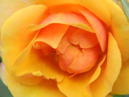 Orange Rose Macro by Appareance