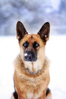 dog in the snow by Borderkowa