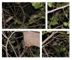 Wild Rats in My Sycamore Tree by Nevuela