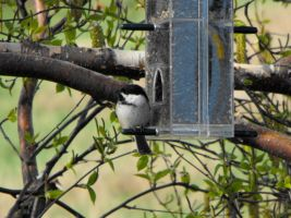 Black capped Chickadee by PixelGordon