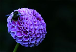 Dahlia and Bee by andras120