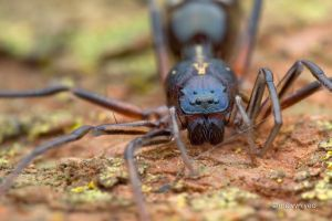Ant-Like Sac Spider (Aetius sp.) by melvynyeo