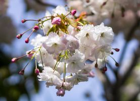 Cherry Blossom by ARC-Photographic