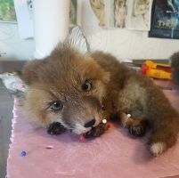 WIP Baby Red Fox Softmount by DeerfishTaxidermy